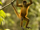 Spider Monkey (Ateles Geoffroyi) Hangs in Tree with Mouth Wide Open