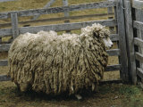 Sheep Covered in Wool  Harberton  Argentina