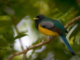 A Male Black-Throated Trogon Perched on a Branch in a Forest Trogon Rufus