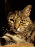A Close View of the Face of a Curious Domestic Tabby Cat