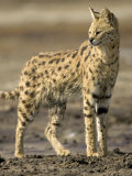 Portrait of a Serval Standing in Profile (Leptailurus Serval)