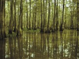 Cypress Trees Reflected in the Green Waters of Bayou Long  Louisiana