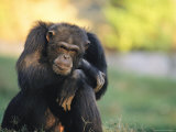 Portrait of Pensive Chimpanzee  Gombe Stream National Park  Tanzania