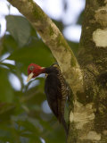 Pale-Billed Woodpecker (Campephilus Guatemalensis) Perched on Tree