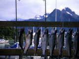 Salmon are Hung to be Weighed and Fileted  Valdez  Alaska  United States