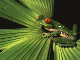 Red-Eyed Tree Frog (Agalychnis Callidryas) Sitting on Palm at Night