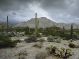 Saguaros Cacti Rise from the Sonoran Desert  Arizona-Mexico Border