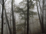 Sugar Maple Trees Stand Out in a Misty Woodland Scene  Monongahela National Forest  West Virginia