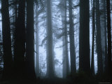 Shrouded in Mist  the Trunks of a Crowd of Giant Redwoods Soar  Redwood National Park  California