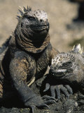 Marine Iguanas  Galapagos Islands