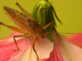 Close-up of Katydid Sitting on Pink Flower