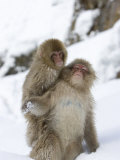 Snow Monkey (Macaca Fuscata) and Baby on Its Back Play in the Snow