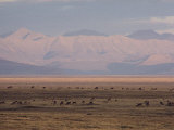 Caribou Grazing on Tundra near Beaufort Lagoon  Arctic National Wildlife Refuge  Alaska