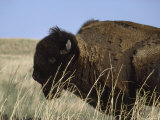American Bison Shedding His Winter Coat  Fort Niobrara National Wildlife Refuge  Nebraska