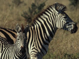 Portrait of a Plains Zebra and Her Foal  Wankie National Park  Zimbabwe