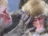 Close up of Japanese Macaques (Snow Monkeys) Grooming Each Other