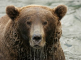 Alaskan Brown Bear (Ursus Arctos) in Water  Water Dripping from Face
