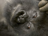 Male Mountain Gorilla (Gorilla Gorilla Beringei)  Portrait of Face