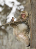 Snow Monkey (Macaca Fuscata) Hangs Precariously from a Tree Branch