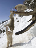 Three Japanese Macaques (Snow Monkeys) Play on a Branch  One Hanging