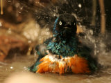 A Superb Starling Shakes Water off While Bathing (Lamprotornis Superbus)