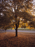 Tree in Autumn Foliage on the Grounds of Dartmouth College  Hanover  New Hampshire