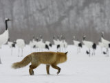 Red Fox Watches Japanese Red-Crowned Crane Flock (Grus Japonensis)