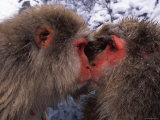 Two Japanese Macaques (Snow Monkeys)  Examining Each Others Eyes