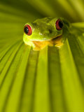 A Red-Eyed Tree Frog Sitting on a Palm Frond (Agalychnis Callidryas)