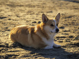 A Corgie on the Beach  Los Angeles  California  United States