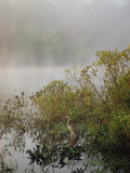Great Blue Heron Waits for Breakfast near the Appalachian Trail  Lake Hebron  Maine