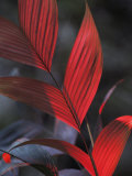 Sunlight Illuminates the Red Leaves of a Plant in Ecuador