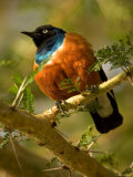 A Superb Starling Perched on an Acacia Tree Branch (Lamprotornis Superbus)
