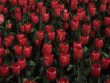 Hundreds of Red Tulips  Madison  Wisconsin  United States