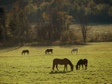 Horses Grazing in a Field  Tyringham  Massachusetts