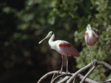 Roseate Spoonbill in Everglades National Park  Florida