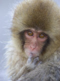 Baby Japanese Macaque (Snow Monkey)Close-up Face with Finger in Mouth