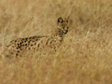 Serval (Leptailurus Serval) on Alert  Hunts in a Field