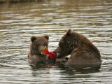 Alaskan Brown Bear with Cub (Ursus Arctos) Eating Salmon in Water