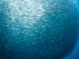 Huge School of Anchovies Photographed off the Coast of Argentina