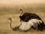 A Pair of Ostriches Mating (Struthio Camelus)