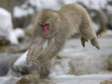 Japanese Macaque (Snow Monkey) Leaping in Air