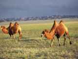Two Bactrian Camels on a Grassy Plain Gobi Desert  Mongolian People's Republic