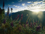 Lupines on Mountainside and Sunlight Over Distant Ridge