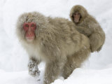 Mother Snow Monkey (Macaca Fuscata) with Baby on Her Back in Snow