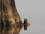 Mink Pauses at the Base of a Tree  Atchafalaya Basin  Louisiana