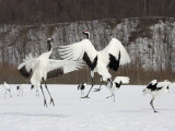 Endangered Red-Crowned Cranes (Grus Japonensis) in Snowy Mating Dance