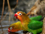 Two Fishers Lovebirds Drinking Water (Agapornis Fischeri)