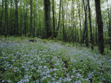 Tiny Blue Wildflowers Carpet This Clearing in the Forest  Nicolet National Forest  Wisconsin
