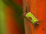 Colorful Saddleback Caterpillar Walking on Plant Stalk